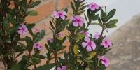 Flora Grecia, Phlox subulata