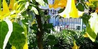 Flora Portugalia - Datura - Lisabona