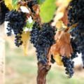 Strugurii Shiraz, secretul unui vin nobil