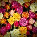 Gradina cu trandafiri celebri