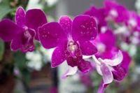 Singapore - orasul cu cea mai mare gradina de orhidee