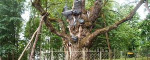 Lituania tara cu unul dintre cei mai batrani stejari din lume